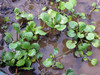 Watercress, 0.5 g