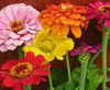 Zinnia, State Fair Mixed Colors, 1 g