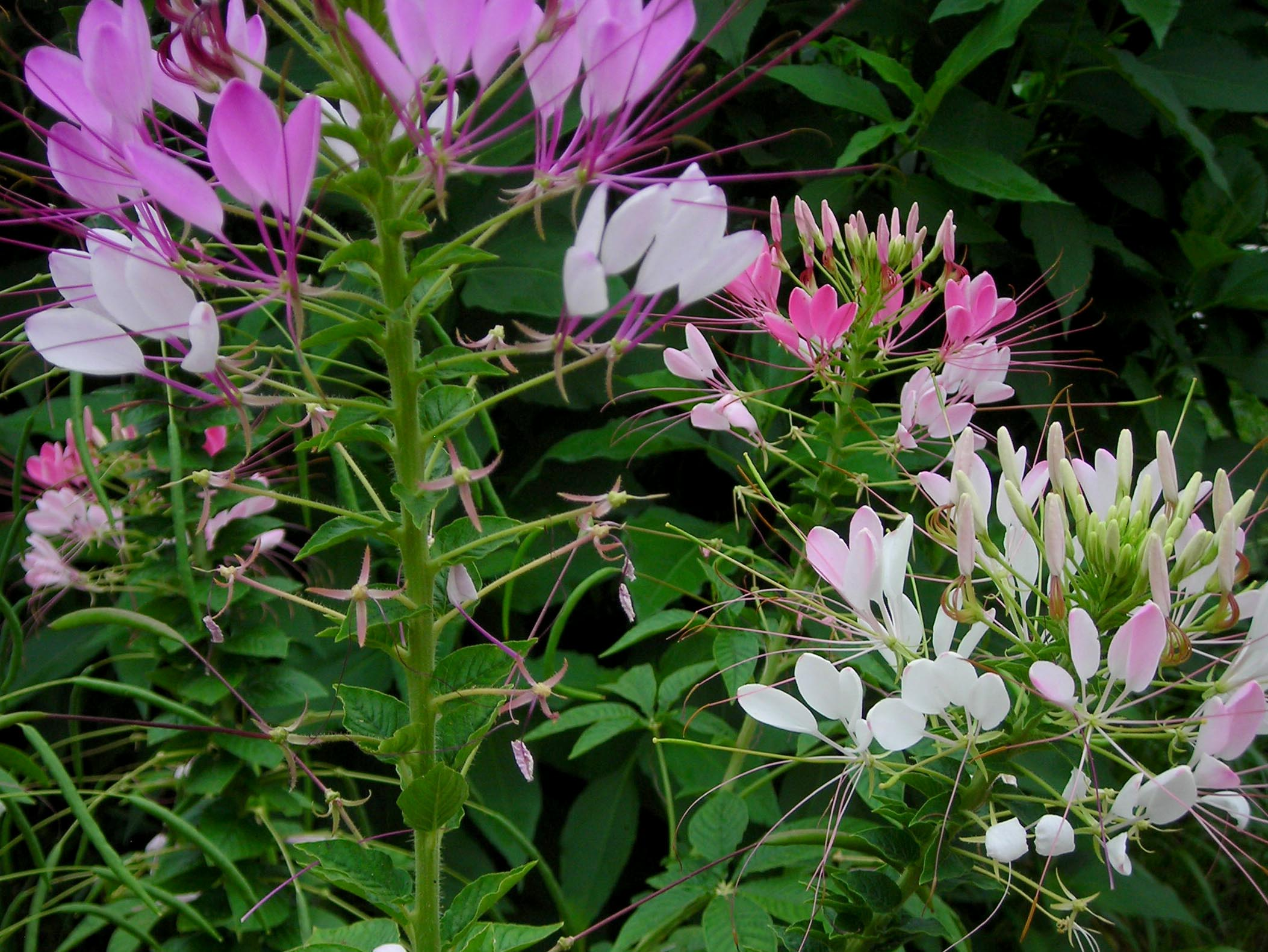Cleome Spider Flower Queen Mix