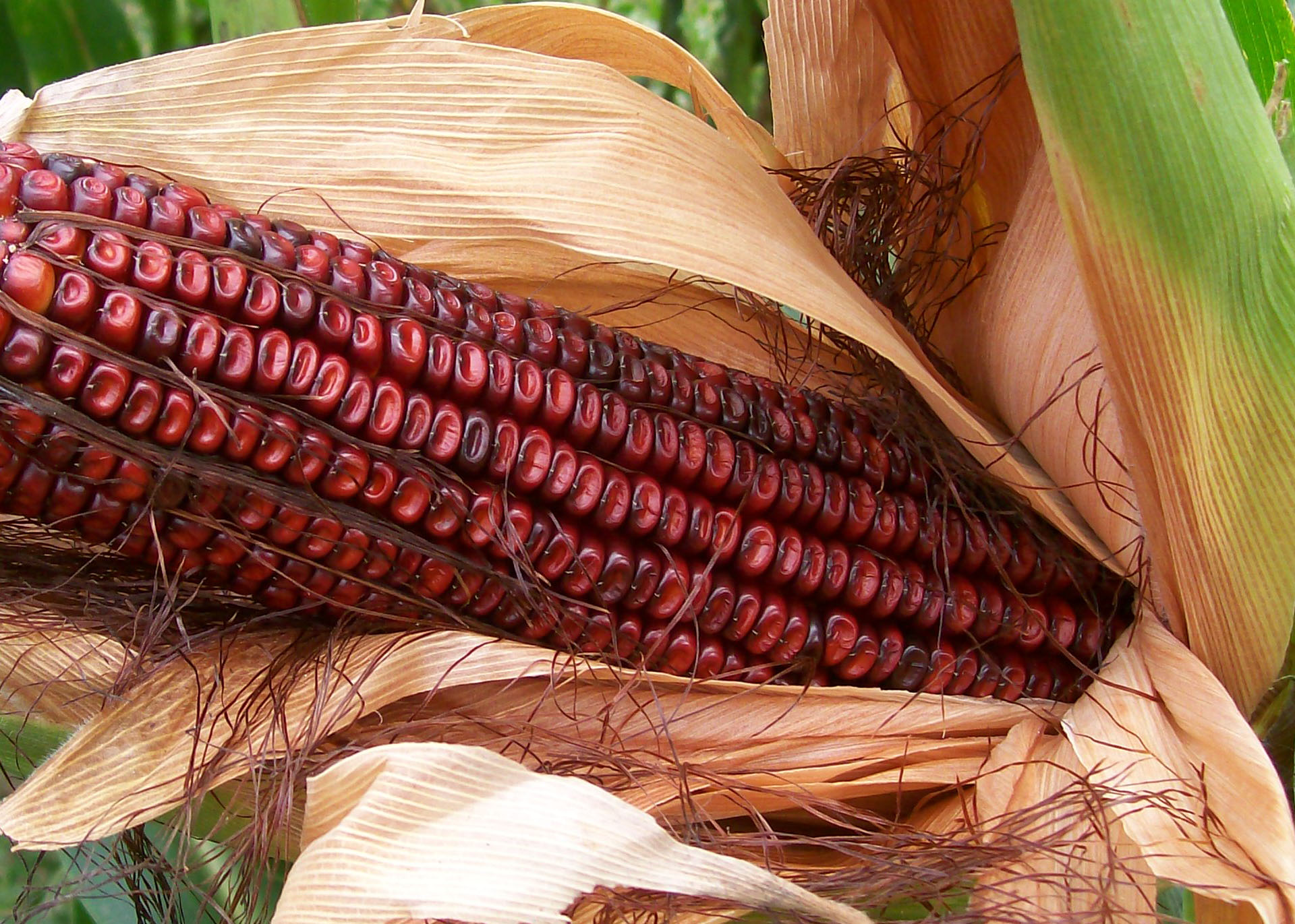 10+ seed BLOODY and FINE! Corn Maize Bloody Butcher Sweetcorn