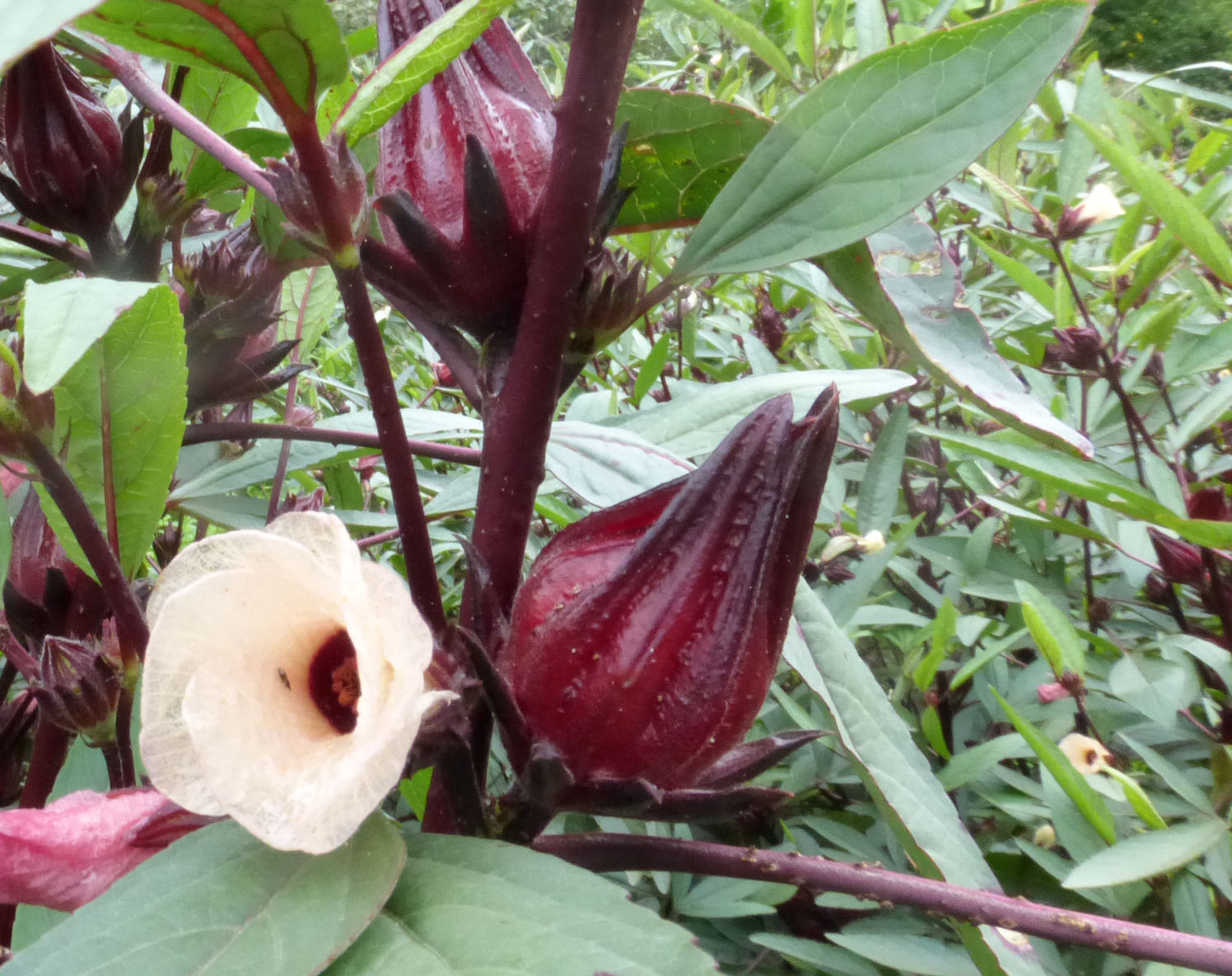 Roselle, Thai Red