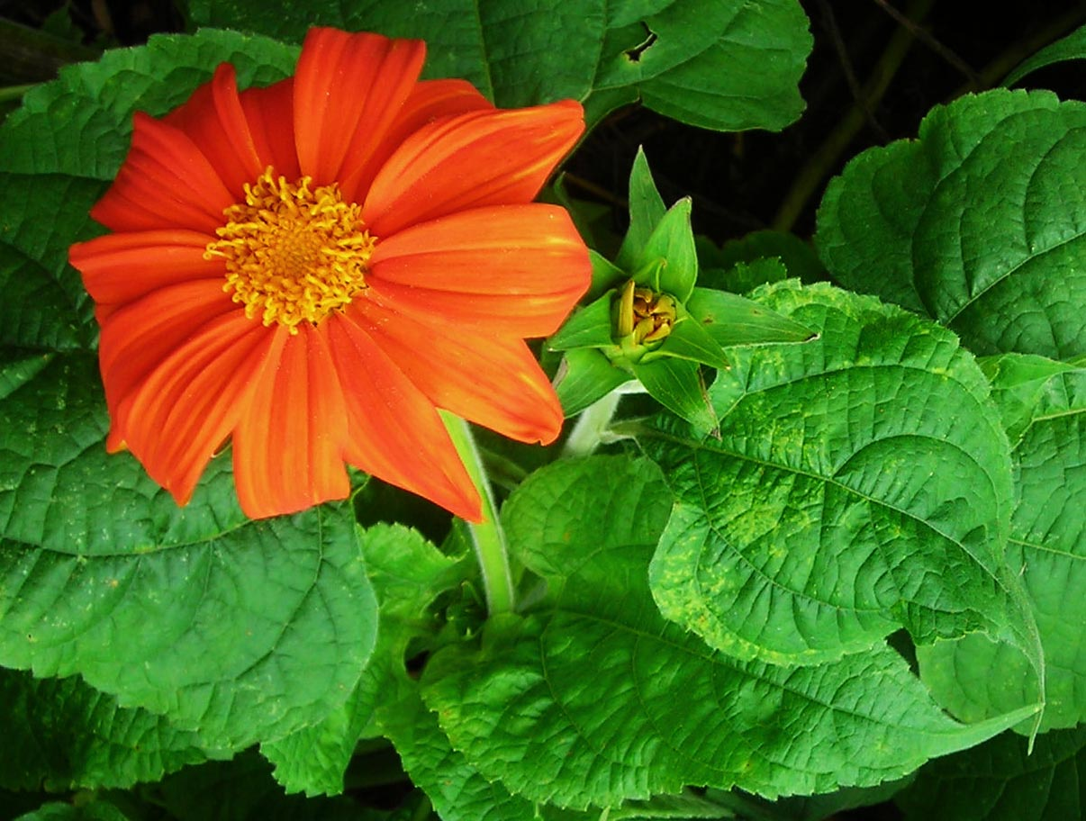 Tithonia Red Torch Mexican Sunflower