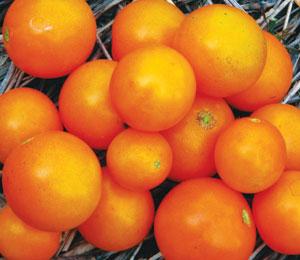 amy's apricot cherry tomato